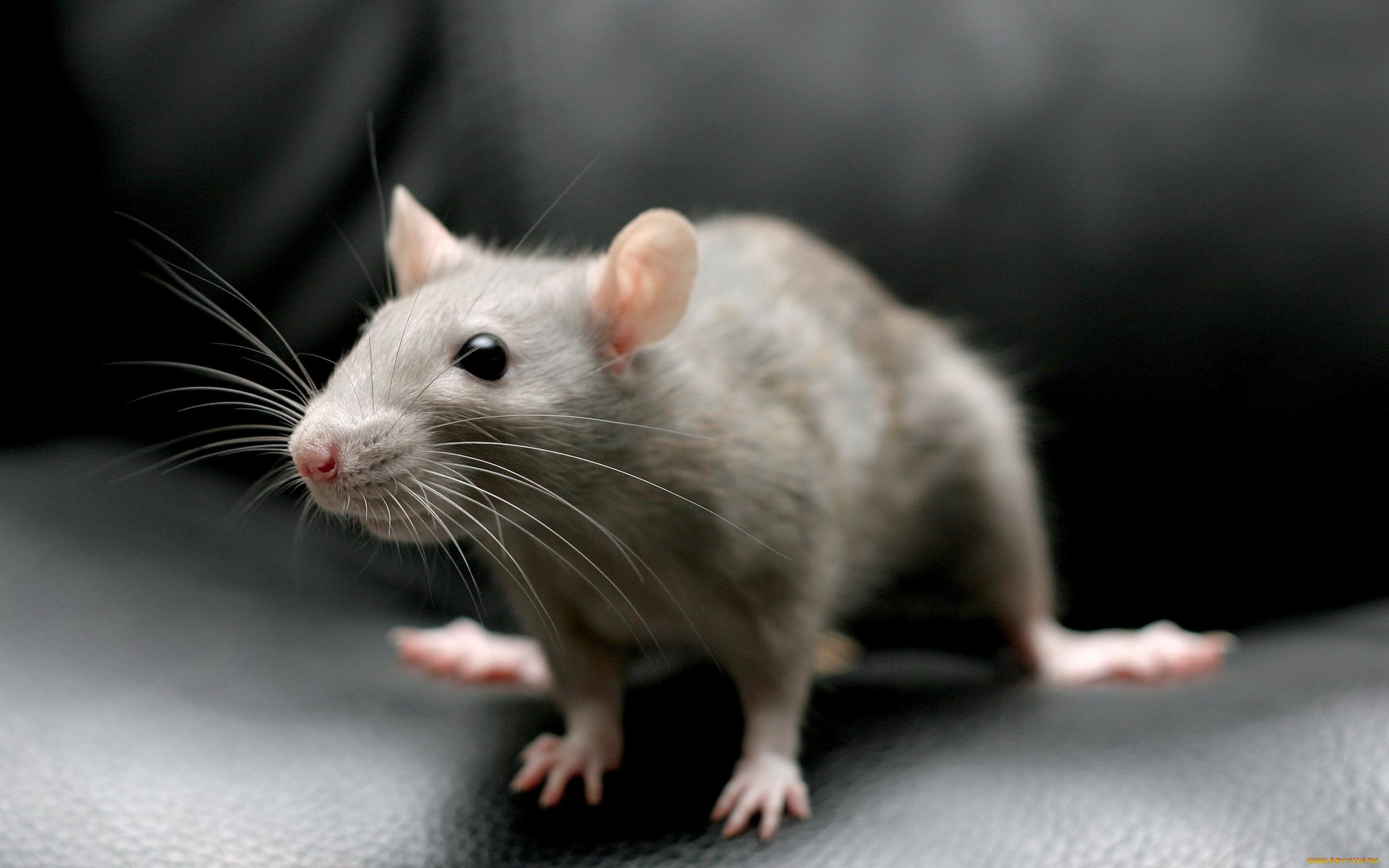 фантазии изобретательности крысы фото на рабочий стол жизни